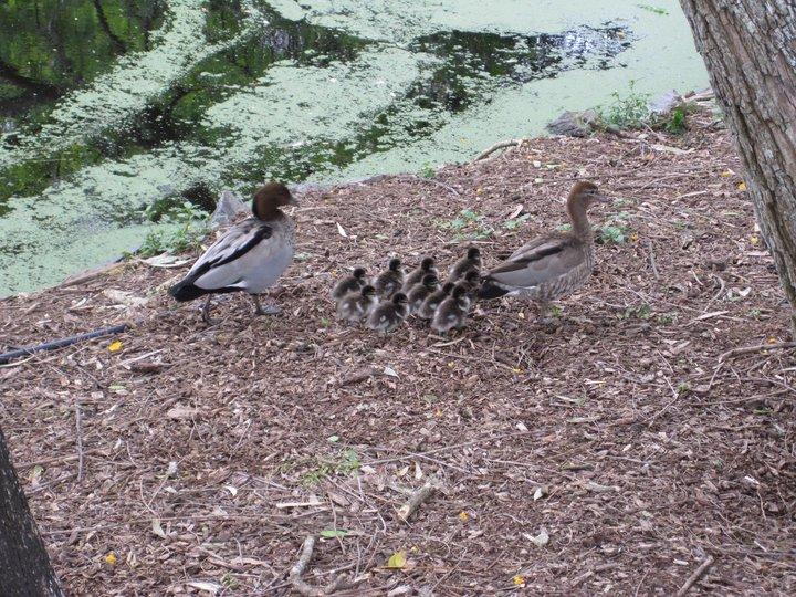Duck%20family.jpg